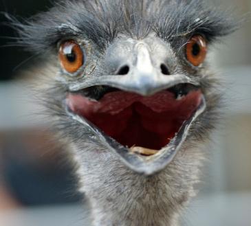 Suprised Ostrich